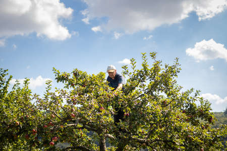 Farmer picking apples from fruit tree. Senior man harvesting homegrown produce in orchard