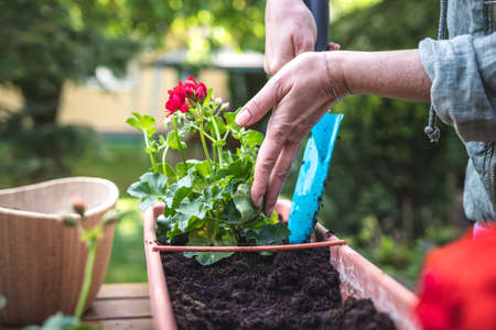 Gardening in spring. Woman with shovel is putting soil into flower pot. Planting geranium plant in garden 免版税图像