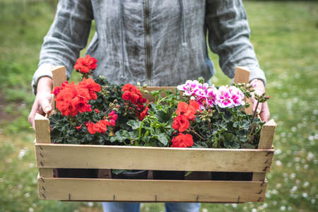 Woman holding wooden crate with colorful geranium flowers in garden. Red and pink pelargonium plant seedling