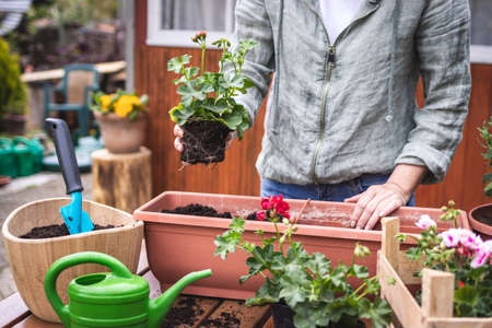 Woman gardening at backyard in spring. Planting geranium seedling into window box and flower pot on table