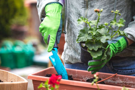 Planting geranium flowers into window box at backyard. Woman with gardening glove and shovel is putting soil in flower pot
