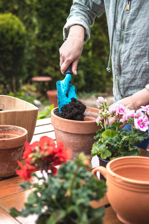 Planting geranium flowers at backyard. Woman with shovel is putting soil in flower pot. Gardening in spring
