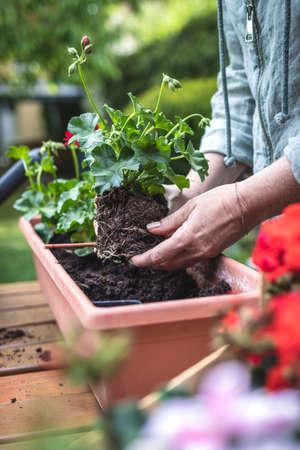 Planting pelargonium plant in garden. Geranium seedling in female hand
