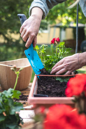 Planting geranium flowers into window box in garden. Woman with shovel is putting soil into flower pot. Gardening at springtime