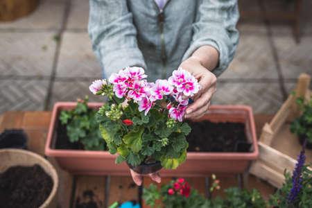 Woman holding pink pelargonium flower in hands. Gardening at springtime. Planting geranium seedling on table 免版税图像