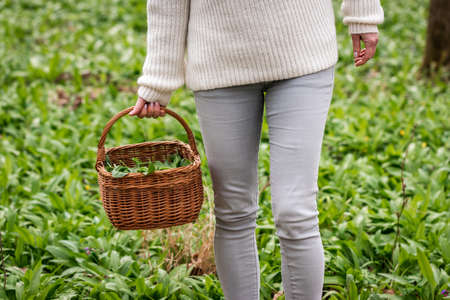 Woman is gathering Wild Garlic and holding basket in woodland. Harvesting fresh herbs in forest 免版税图像