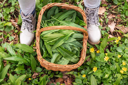 Harvested ramson leaves in wicker basket. Top view at basket, wild garlic herbs and female feet in boots. Picking fresh bear leek in forest