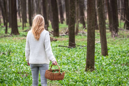 Woman holding basket with harvested wild garlic leaves in woodland. Harvesting ramson herb at springtime. Healthy lifestyle