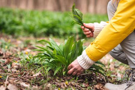 Woman picking fresh wild garlic (allium ursinum) leaves in forest. Harvesting bear leek herb at spring season. Alternative and herbal medicine 免版税图像