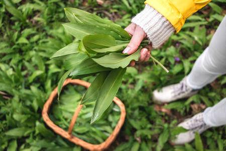 Woman picking Wild Garlic (allium ursinum) in woodland. Harvesting Ramson leaves herb into wicker basket 免版税图像