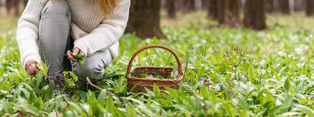 Woman picking wild garlic (allium ursinum) in forest. Harvesting Ramson leaves herb into wicker basket 免版税图像