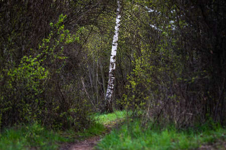 Birch tree trunk in forest. Footpath in spring woodland