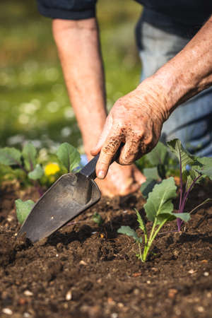 Gardening at spring. Planting kohlrabi seedling in organic garden. Farmer hands working with shovel in vegetable bed