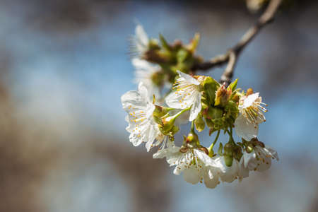 Cherry blossom. Blooming branch of cherry tree at spring. Selective focus