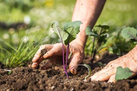 Planting kohlrabi seedling in organic garden. Gardening at spring. Farmer hands working in vegetable bed. Selective focus and motion