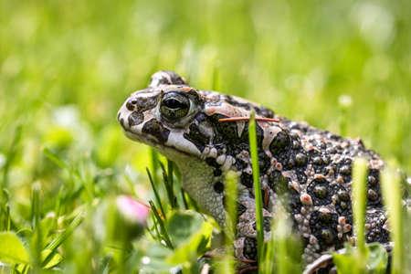 European green toad (Bufotes viridis) in grass. Frog in the garden