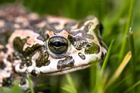Closeup head of European green toad (bufotes viridis). Frog in grass. Amphibian animal