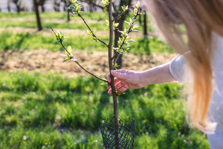 Farmer control plum tree sapling in fruit orchard at springtime. Agricultural activity in organic farm