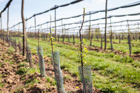 Apple orchard with fruit tree in a row. Cultivated sapling trees with protective netting at spring