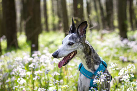 Whippet dog in flowers at woodland. Animal themes. Pet outdoors 免版税图像