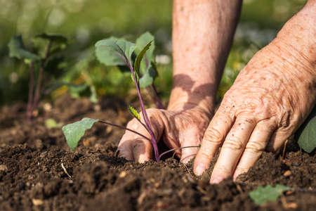 Planting kohlrabi seedling in organic garden. Gardening at spring. Farmer hands working in vegetable bed