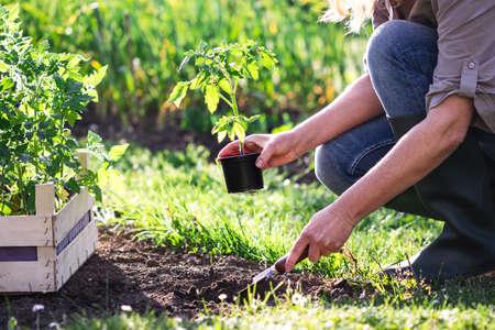 Woman farmer planting tomato seedling in organic garden. Gardening in spring. Vegetable plants
