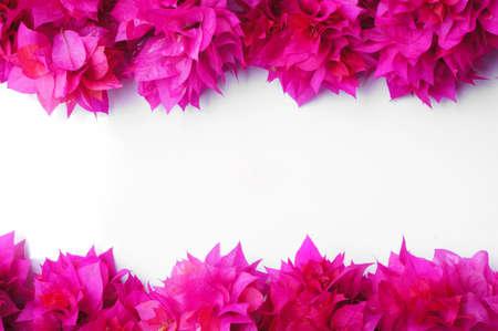 bougainvillea: Bougainvillea flowers on white background Stock Photo