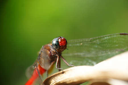 anisoptera: Resting red dragonfly