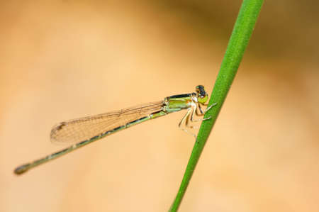 damselfly: The Small Emerald Damselfly or Small Spreadwing Stock Photo