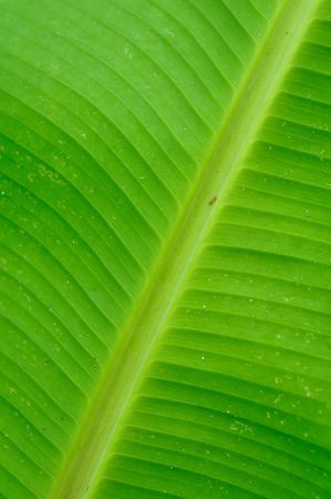 the detail of banana leaf texture Stock Photo