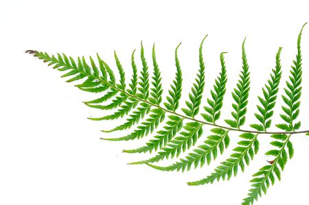 엽상체: the fern fern leaf woth white background