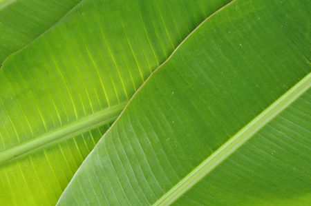 banana leaves texture background photo