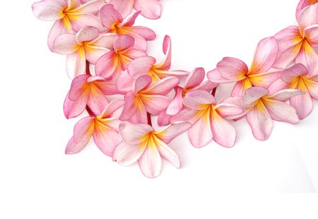 Pink Plumeria flowers isolated on white background Stock Photo - 8260863