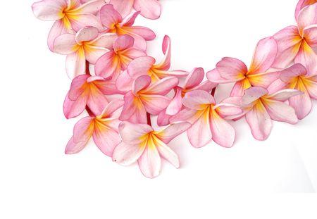 Pink Plumeria flowers isolated on white background photo