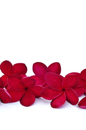 Red frangipani flowers for border Stock Photo - 8260859