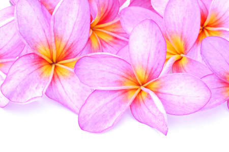close up of Plumeria flowers isolated on a white background  Stock Photo - 8260884