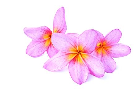 Pink Plumeria isolated on a white background