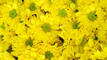 Yellow Chrysanthemum Background  photo