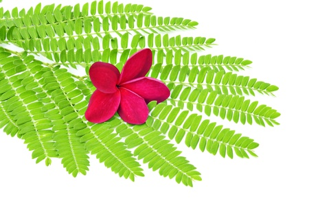 Plumeria on green leaf isolated on white background Stock Photo - 8321187