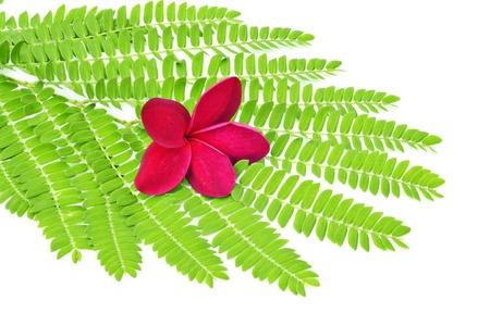 Plumeria on green leaf isolated on white background Stock Photo - 8321187