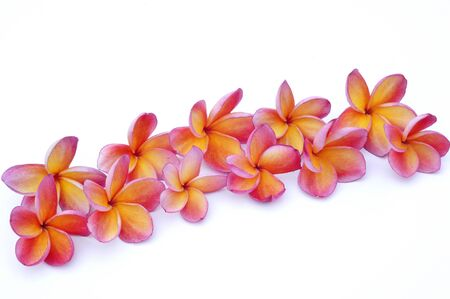 Pink Plumeria isolated on white background