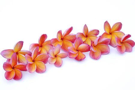 Pink Plumeria isolated on white background  photo