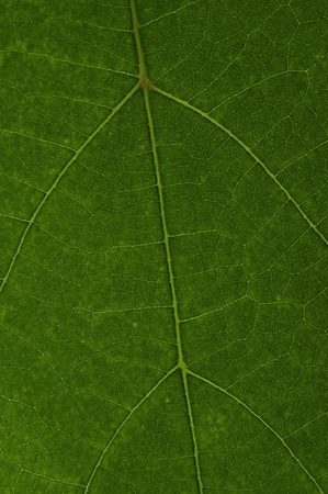 the texture of green leaf  Stock Photo - 8321189