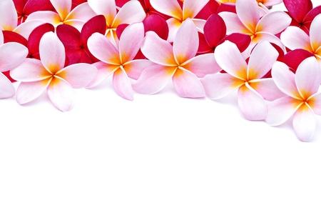 hawaiana:  Frangipani flores para el dise�o  Foto de archivo