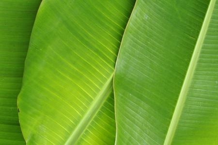 leaf close up: Banana Leaves Background Stock Photo