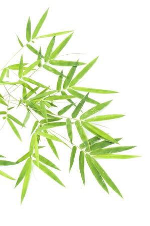 bambu: Hojas de bamb� aisladas sobre fondo blanco