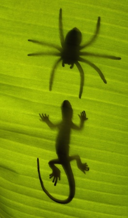 Silhouette of a gecko lizard on a green tropical leaf viewed from underneath in the sunshine.  photo