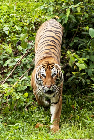 siberian tiger: Tiger  Stock Photo