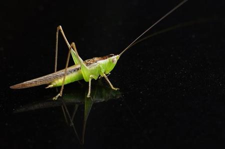 Grasshopper on dark background