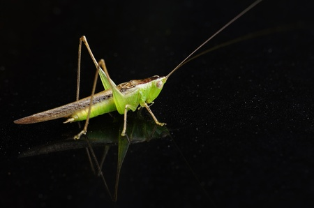 predatory insect: Grasshopper on dark background